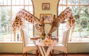 Giraffe Manor w Nairobi